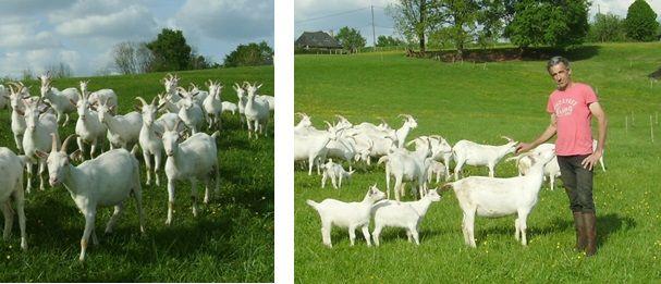 chèvres-jpg.jpg