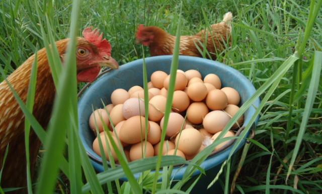poules pondeuses ferme temps des legumes