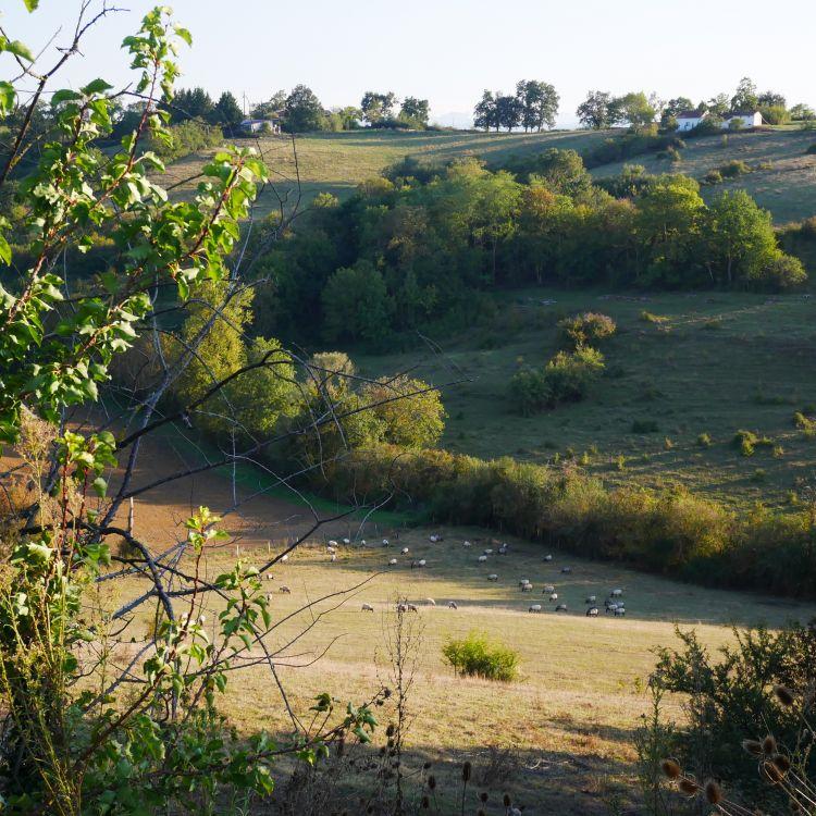 champs et brebis