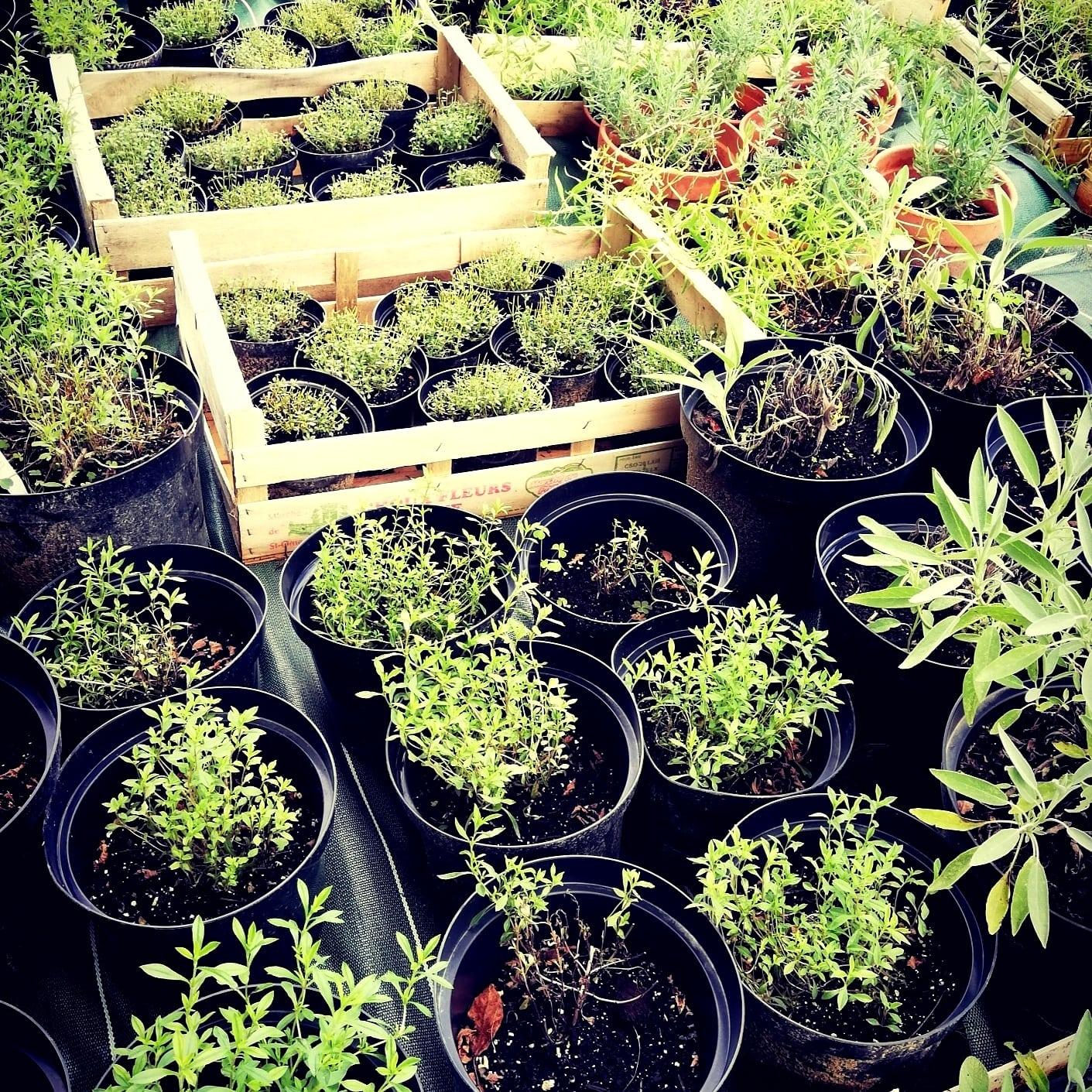 plants aromatiques jardins d'olha